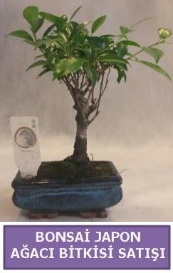 İthal Bonsai japon ağacı bitkisi satışı  Ankara İnternetten çiçek siparişi