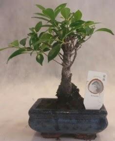 Bonsai ağacı japon ağaç bitkisi  Ankara çiçek yolla