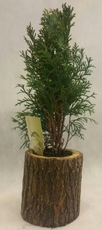 SINIRLI STOK Selvi Bonsai Doğal kütükte  Ankara İnternetten çiçek siparişi