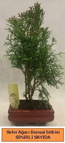 Selvi ağacı bonsai japon ağacı bitkisi  Ankara çiçek satışı