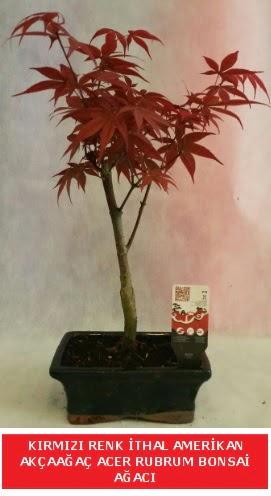 İTHAL ACER RUBRUM BONSAİ AĞACI  Ankara çiçek gönderme sitemiz güvenlidir