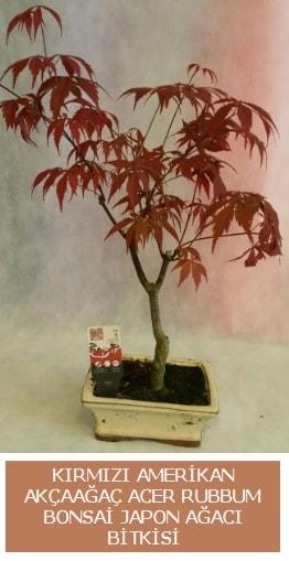 Amerikan akçaağaç Acer Rubrum bonsai  Ankara uluslararası çiçek gönderme