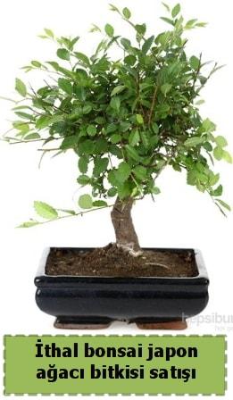 İthal bonsai saksı çiçeği Japon ağacı satışı  Ankara İnternetten çiçek siparişi