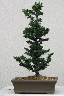 Çam ağacı bonsai bitkisi satışı  Ankara çiçekçi telefonları