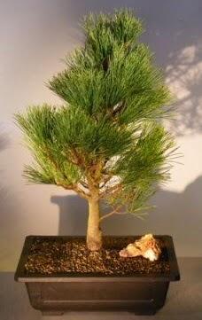 Çam ağacı japon ağacı bitkisi bonsai  Ankara çiçekçi telefonları