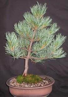 Bonsai çam ağacı japon ağacı bitkisi  Ankara çiçek siparişi sitesi