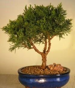 Servi çam bonsai japon ağacı bitkisi  Ankara çiçek yolla
