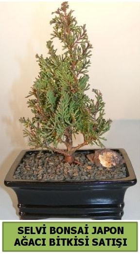 Selvi çam japon ağacı bitkisi bonsai  Ankara çiçekçi telefonları