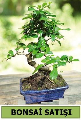 Çam bonsai japon ağacı satışı  Ankara çiçek satışı