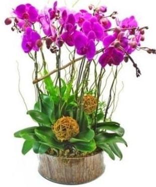 Ahşap kütükte lila mor orkide 8 li  Ankara internetten çiçek satışı