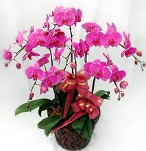 Sepet içerisinde 5 dallı lila orkide  Ankara ucuz çiçek gönder