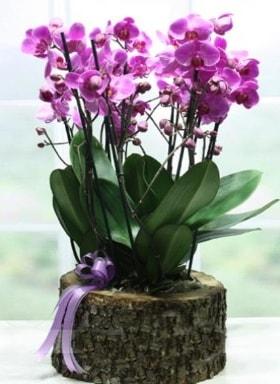 Kütük içerisinde 6 dallı mor orkide  Ankara ucuz çiçek gönder