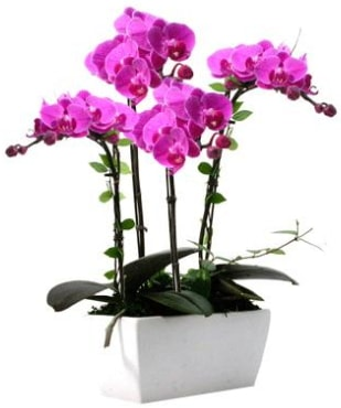 Seramik vazo içerisinde 4 dallı mor orkide  Ankara çiçek satışı