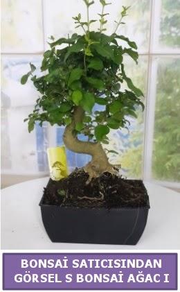 S dal eğriliği bonsai japon ağacı  Ankara çiçek satışı