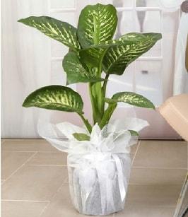 Tropik saksı çiçeği bitkisi  Ankara çiçek satışı