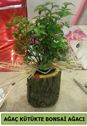Doğal ağaç kütük içerisinde bonsai ağacı  Ankara çiçek gönderme sitemiz güvenlidir