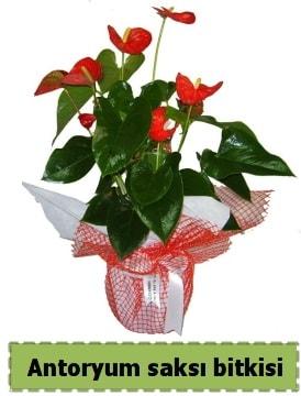 Antoryum saksı bitkisi satışı  Ankara çiçek , çiçekçi , çiçekçilik