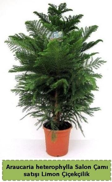 Salon Çamı Satışı Araucaria heterophylla  Ankara çiçek satışı