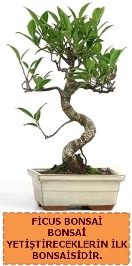 Ficus bonsai 15 ile 25 cm arasındadır  Ankara çiçek yolla