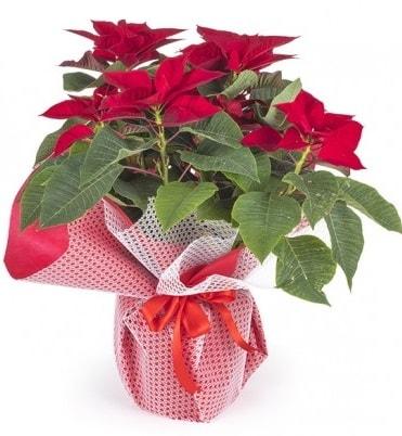 Atatürk çiçeği saksı bitkisi  Ankara çiçek gönderme sitemiz güvenlidir