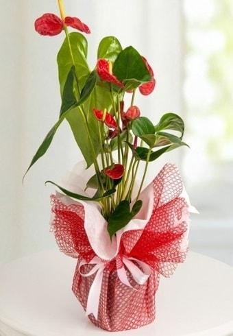 Anthurium Saksı Çiçeği  Ankara hediye çiçek yolla