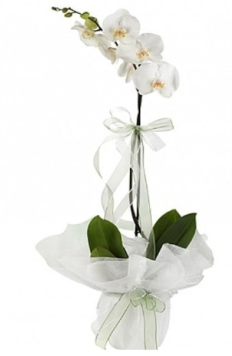 Tekli Beyaz Orkide  Ankara hediye çiçek yolla