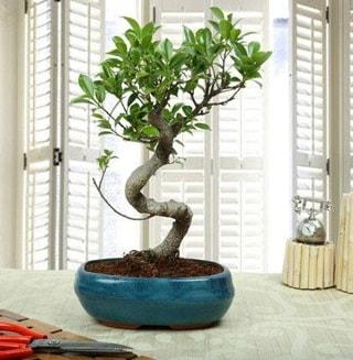 Amazing Bonsai Ficus S İthal  Ankara internetten çiçek siparişi