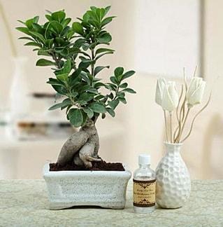 Ginseng ficus bonsai  Ankara çiçekçiler