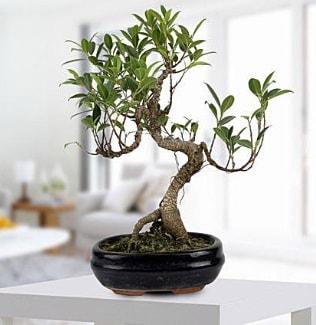 Gorgeous Ficus S shaped japon bonsai  Ankara yurtiçi ve yurtdışı çiçek siparişi