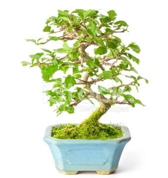 S zerkova bonsai kısa süreliğine  Ankara İnternetten çiçek siparişi
