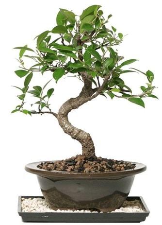 Altın kalite Ficus S bonsai  Ankara çiçekçi telefonları  Süper Kalite