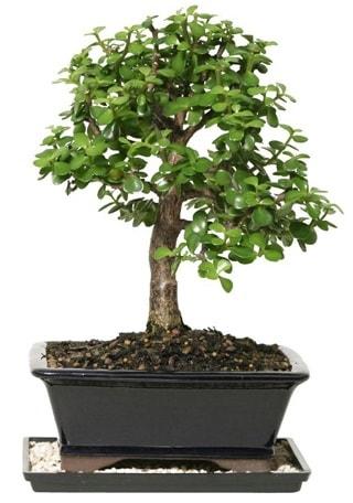 15 cm civarı Zerkova bonsai bitkisi  Ankara çiçek siparişi sitesi