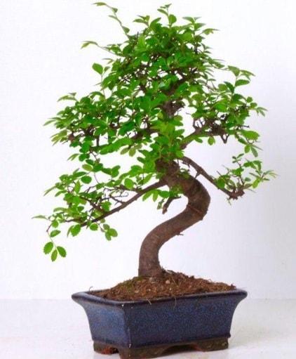 S gövdeli bonsai minyatür ağaç japon ağacı  Ankara çiçek gönderme sitemiz güvenlidir