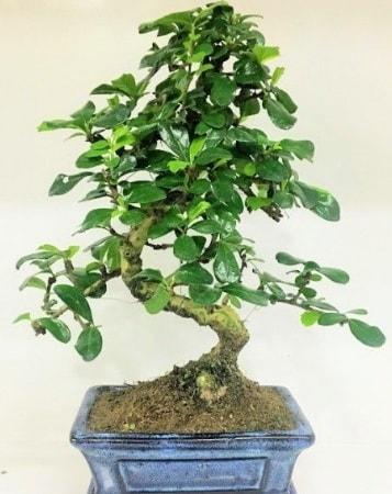 Zelkova S gövdeli Minyatür ağaç Bonzai  Ankara çiçek gönderme