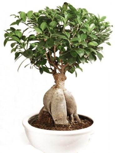 Ginseng bonsai japon ağacı ficus ginseng  Ankara İnternetten çiçek siparişi